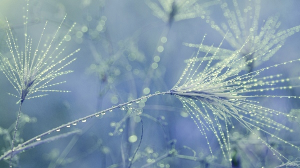 dandelion_seeds_drops_dew_27137_1920x1080